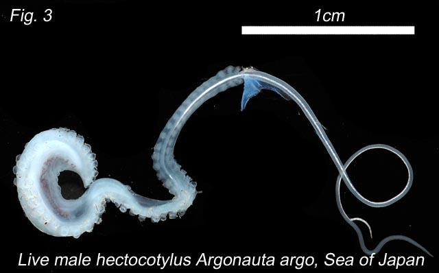 Hectocotilo de Argonauta argo. Fuente
