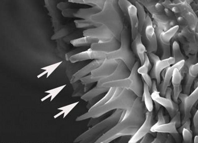 Detalle del pene de Callosobruchus maculatus. Fuente