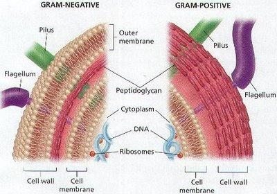 Estructura de la pared celular en Gram negativas y Gram positivas. En rojo, la capa de péptidoglucano.