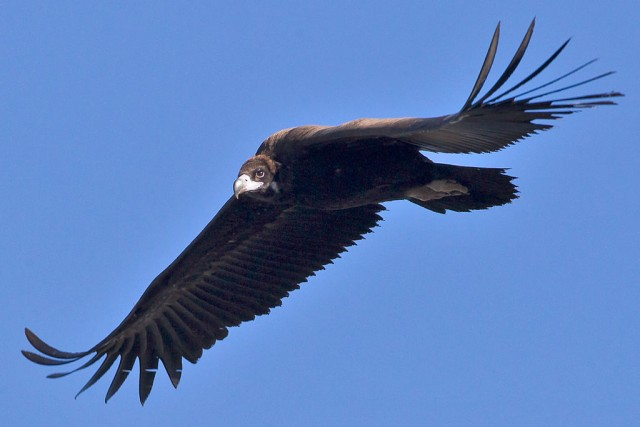 Buitre negro en vuelo. Fuente