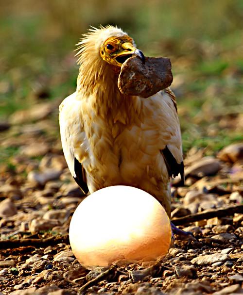 Alimoche a punto de romper un huevo. Fuente