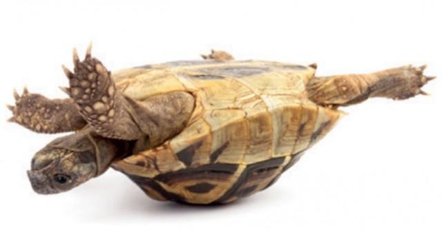 Dibujo20150601-Big-tortoise-shell-flipping-nature-com