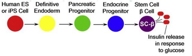 Cadena de diferenciación de las células madre embrionarias en célula beta.