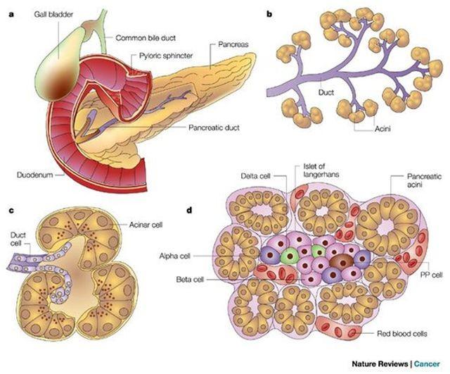 Disposición celular del páncreas endocrino y exocrino.