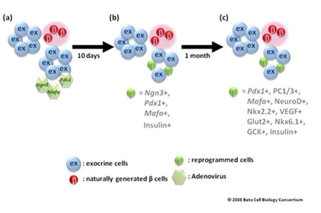 Reprogramación de células exocrinas en células endocrinas.