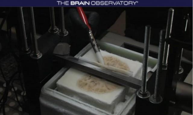 El encéfalo de Henry, mientras es seccionado con un microtomo de congelación especial. Imagen captada del video disponible en The Brain Observatory: http://thebrainobservatory.ucsd.edu/hm
