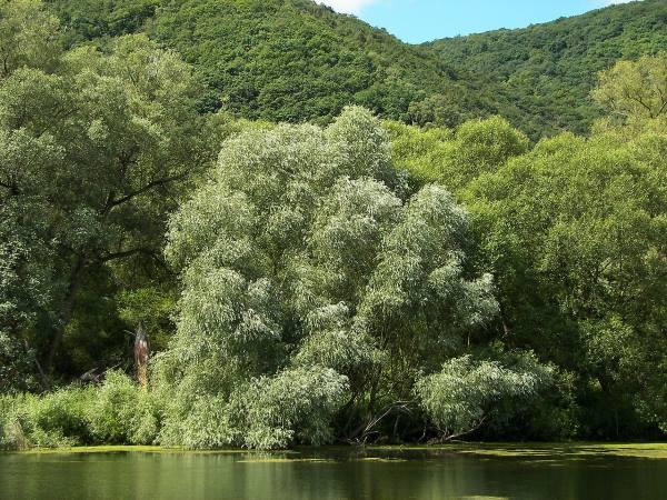 """""""Salix alba 020"""", por Willow - Own work. Vía Commons"""
