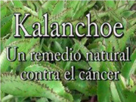 Vendiendo Kalanchoe contra el cancer