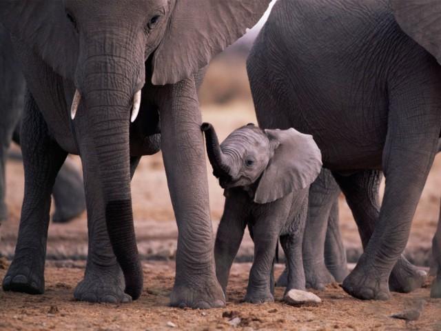 El elefante, una especie de estrategia K