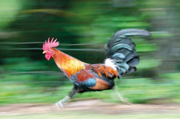 Un gallo asilvestrado en Hawái