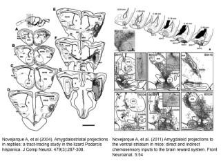 Amparo era una artista, como Levi-Montalcini: sus trabajos están llenos de preciosas ilustraciones del cerebro.