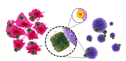 En verde (frústulas de T. pseudonana), amarillo (liposomas+fármaco), púrpura (linfocitos B), rojo (células cancerosas del neuroblastoma).