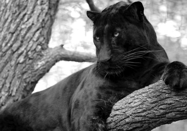 Panthera pardus fusca melánica. Fuente