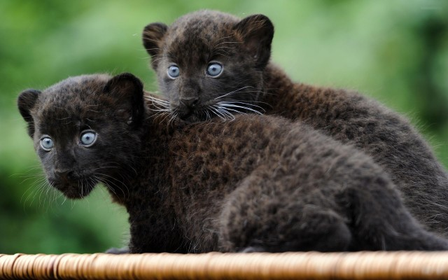 Cachorros de leopardos negros. Fuente