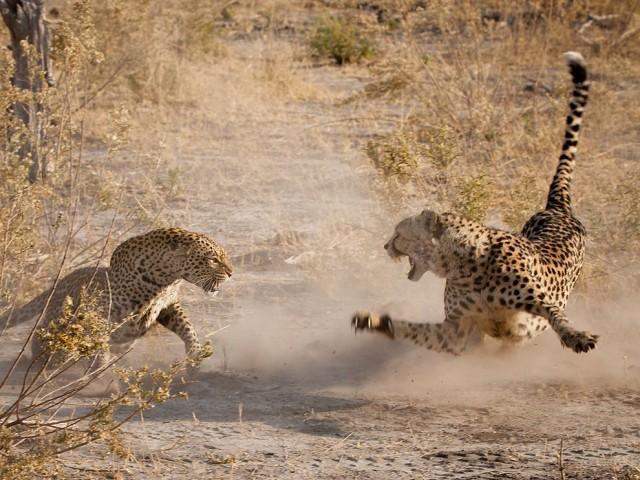 Un 'amistoso' encuentro entre un leopardo y un guepardo. Fuente
