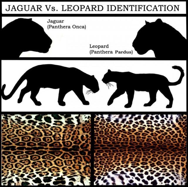 Jaguar Vs Leopardo. Fuente