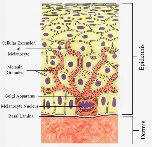 Localización de los melanocitos en la piel. Fuente