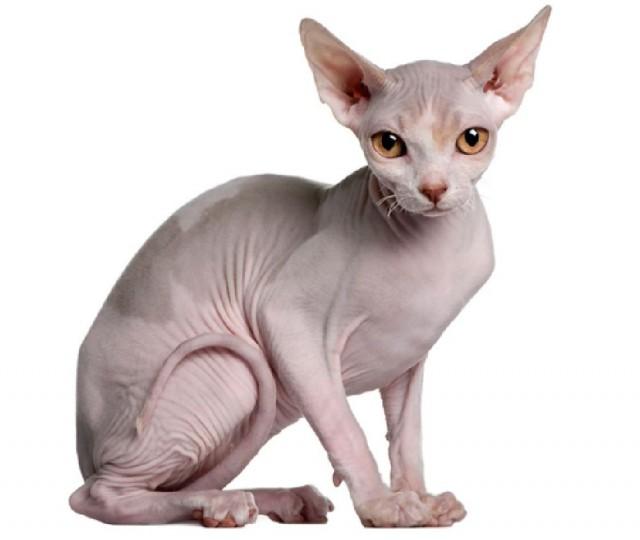 Un gato esfinge. Fuente