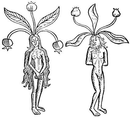 Dibujo de mandrágoras representando mujercilla y hombrecillo. Fuente