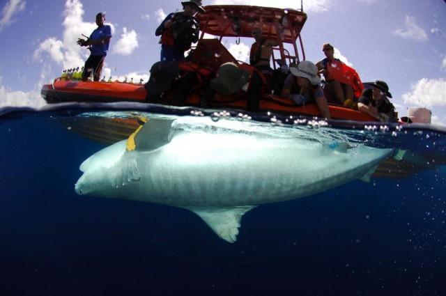 Captura momentánea de un tiburón para su marcaje. Foto: Luiz Rocha