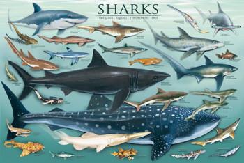 Sharks Gallery