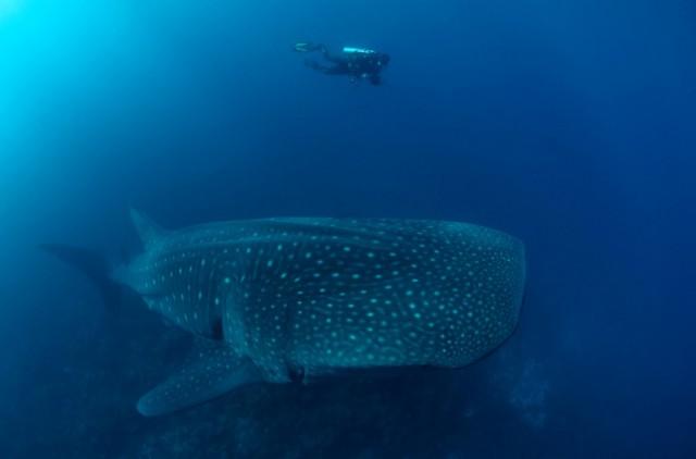 Tiburón ballena, foto de Jonathan Green