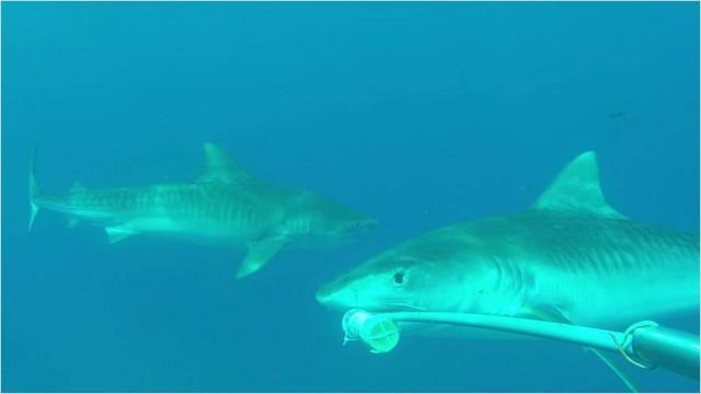 Tiburones tigre mordiendo la cápsula con carnada en aguas de Galápagos.