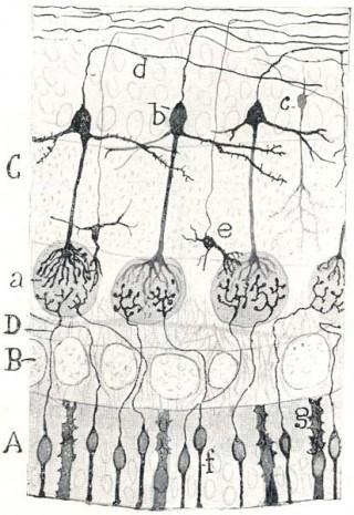 Epitelio olfativo y bulbo olfativo, vistos por Ramón y Cajal