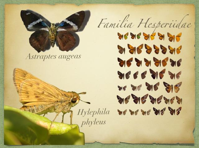 Astraptes augeas e Hylephila phyleus
