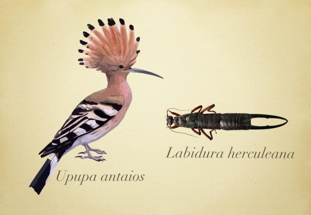 Upupa antaios y Labidura herculeana