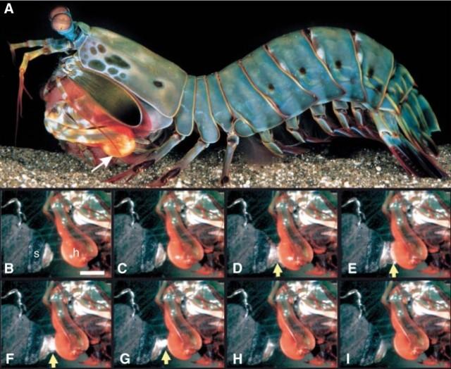 Imágenes cuadro por cuadro de un martillazo de O. scyllarus a una concha de caracol. En D-G se puede observar la burbuja de cavitación.