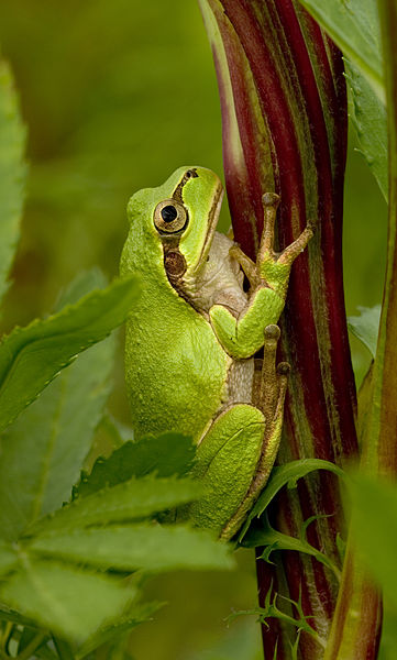 361px-tree_frog