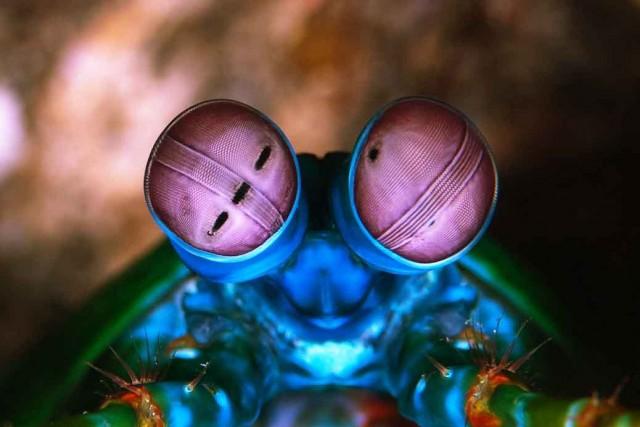 Ojos de Odontodactylus scyllarus.