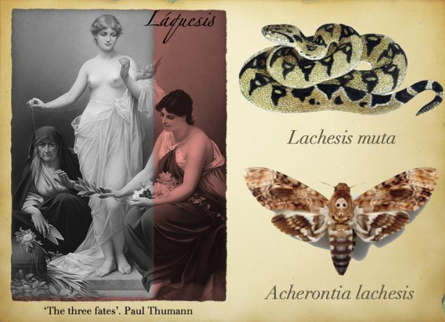 Láquesis. Lachesis muta y Acherontia lachesis