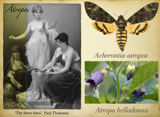 Átropos. Acherontia atropos y Atropa belladona