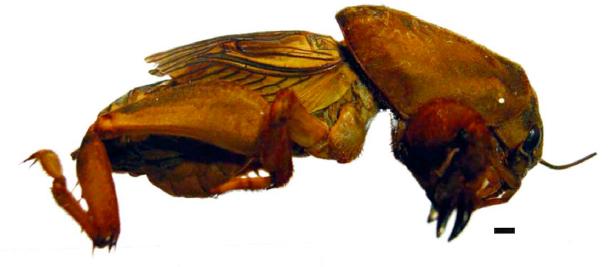 Scapteriscus cerberus. Fuente
