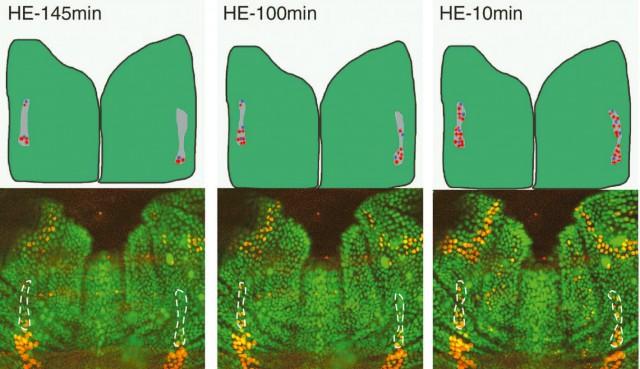 Selección de precursores de órganos sensoriales (POS) en Drosophila Melanogaster durante la fase larvaria. (Inferior) Imágenes obtenidas mediante fluorescencia. Las zonas marcadas son los grupos de neuronas observados. (Superior) Evolución de las células preneurales (gris), POS (azul) y no POS (rojo). Fuente.