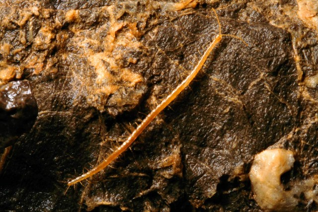 Geophilus hadesi. Fuente