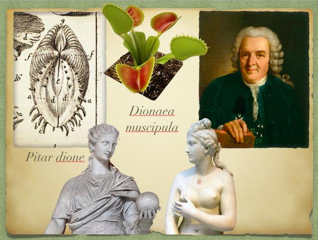 Carl Von Linneo y uno de sus dibujos de Pitar Dione. La Venus atrapamoscas y estatuas de Dione y Venus