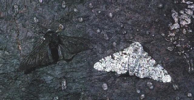 Melanismo industrial en Biston betularia (fuente)