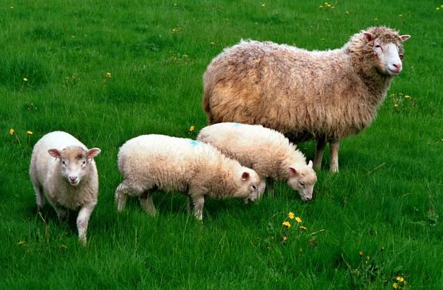 Dolly feliz madre de trillizos. Foto cortesía del Instituto Roslin, Universidad de Edimburgo