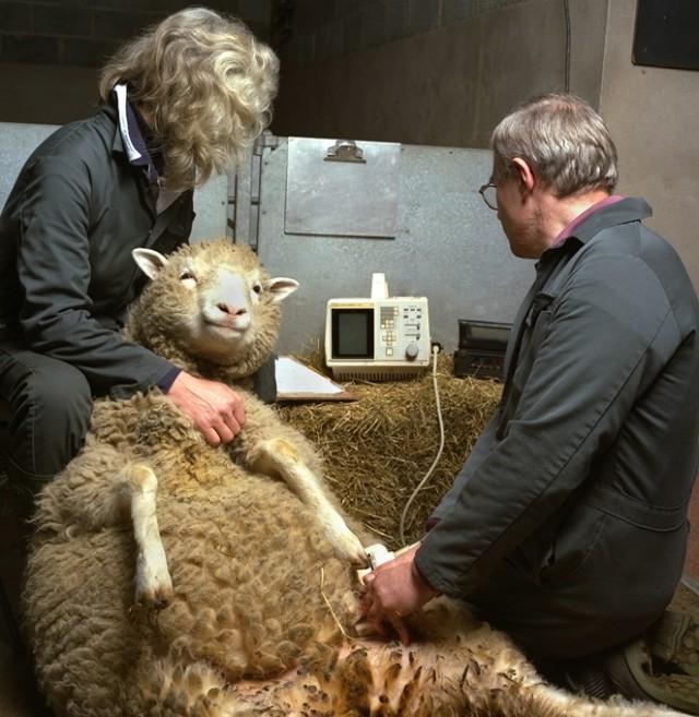La oveja Dolly duante una erogaría para seguir su embarazo. Foto cortesía del Instituto Roslin, Universidad de Edimburgo