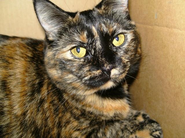 Gato naranja y negro. Es prácticamente seguro que será una gata.