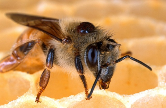 Abeja parasitada por Varroa. El ácaro debe su nombre a Terentius Varro