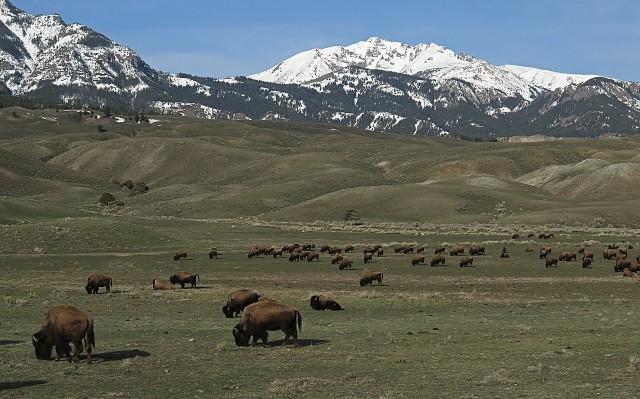 Bisontes en libertad. Foto: Pixabay