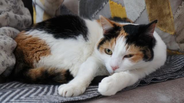 Gato de 3 colores. Tiene un 99.97% de posibilidades de ser hembra