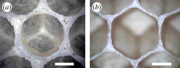 Celdilla recién creada a la izda. con la cera aún caliente y semi-líquida presenta una formación circular, mientras que una vez fría presenta una forma hexagonal