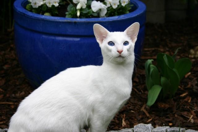 Gato blanco de ojos azules: Muy probablemente sea sordo