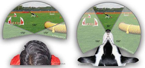 Visión periférica humana y canina. Los perros tienen los ojos situados en la parte superior del cráneo, eso les permite un mayor ángulo de visión pero les permite enfocar con los dos ojos un ángulo menor que las personas.