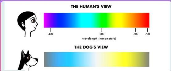 Distinta percepción de los colores en personas y perros. Los cánidos ven los rojos y verdes como matices de gris. Si juega con su perro en el césped, elija un color distinto al rojo para la pelota, su perro la verá mejor.